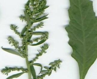 Propiedades y Beneficios del Paico (Chenopodium ambrosioides)