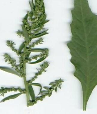 Propiedades y Beneficios del Paico (Chenopodium ambrosioides) - El ...