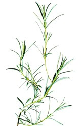 cultivar romero
