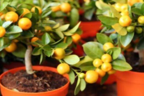 Naranjos en maceta ¿Se pueden tener árboles frutales en maceta?