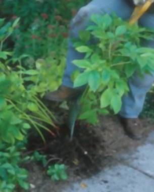 10-tips-para-la-division-de-plantas-perennes-03