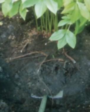 10-tips-para-la-division-de-plantas-perennes-02