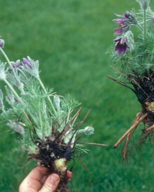 10-tips-para-la-division-de-plantas-perennes-10