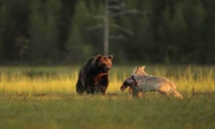 Durante 10 días capturó la improbable y linda amistad entre un oso y un lobo