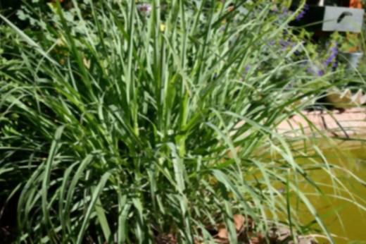 , 15 plantas protectoras y repelentes de insectos para nuestro Jardín