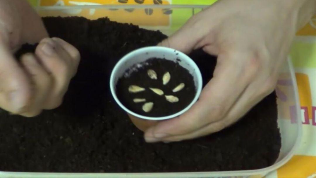 Como germinar una semilla de limón 2