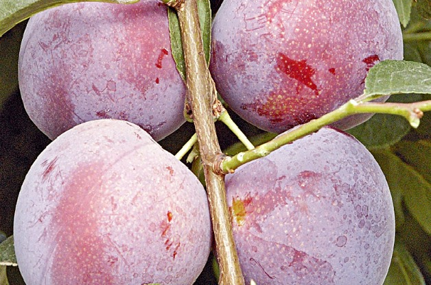 Top 10 Fruit Trees for Small Spaces: Plum