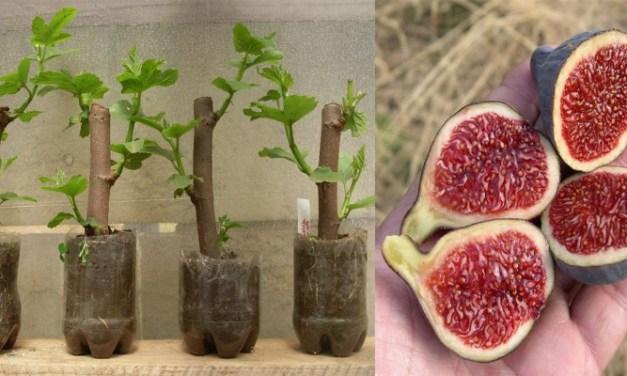 De esta forma puedes hacer un árbol de higuera en 30 días a partir de esquejes