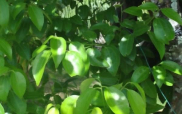 El cultivo del árbol de la canela
