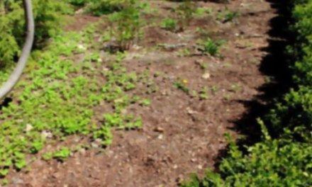 ¿No quieres usar herbicidas en tu jardín? Mira lo que ocurre después de poner unos periódicos viejos