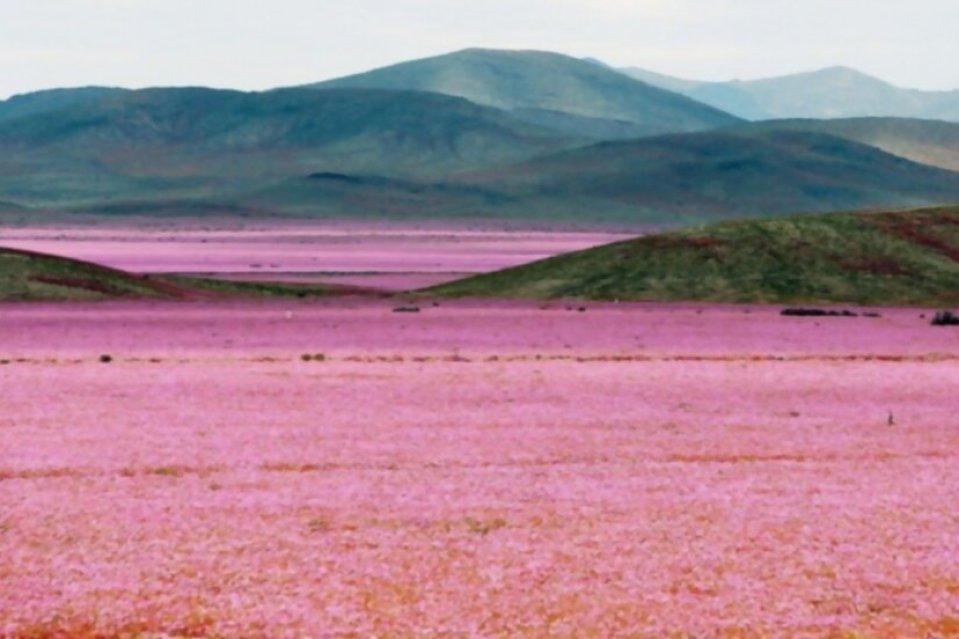 El desierto más árido del mundo se acaba de convertir en un paraíso cubierto de rosa