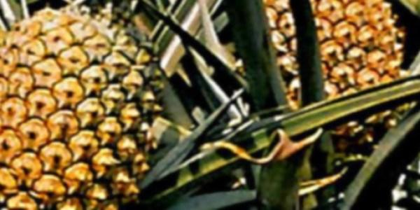 Abacaxi - Ananas comosus