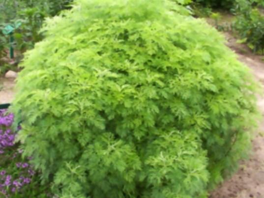 http://image.gardening.eu/immagini/artemisia_abrontanum.jpg
