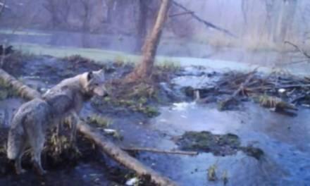 La fauna silvestre abunda en el sitio del peor desastre nuclear del mundo