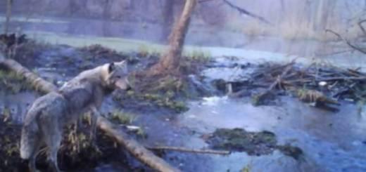 Chernoble wolves