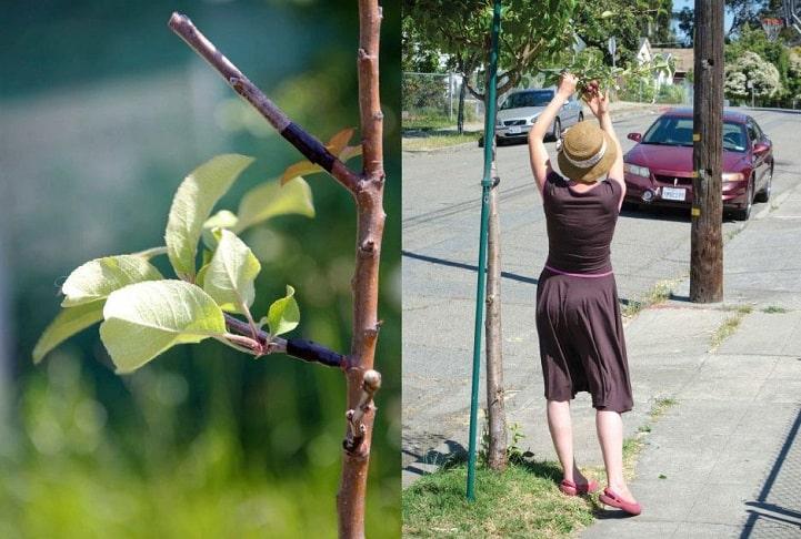 Grupo guerrillero agrícola transforma árboles ornamentales en frutales - El Horticultor