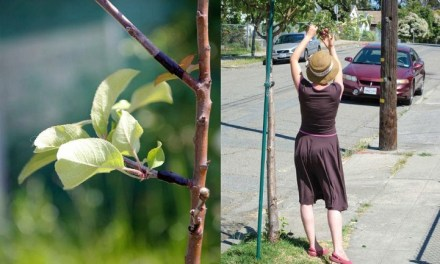 Grupo guerrillero agrícola transforma árboles ornamentales en frutales