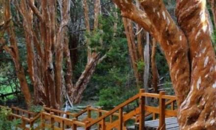 En Bariloche plantarán un árbol nativo por cada niño que nazca