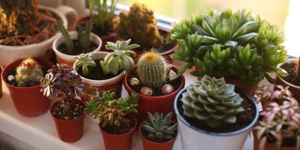 10 especies de cactus y plantas suculentas f ciles de for Cactus cuidados exterior