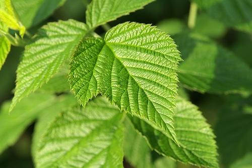 Té de hojas de frambuesa para aliviar los dolores menstruales