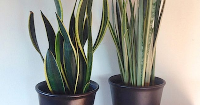 Plantas para tratar el insomnio, 12 plantas para tratar el insomnio y mejorar la calidad del sueño