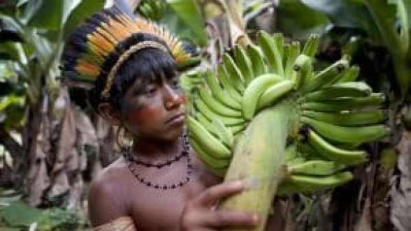 El Amazonas es un bosque de alimentos intencional, los investigadores descubren...