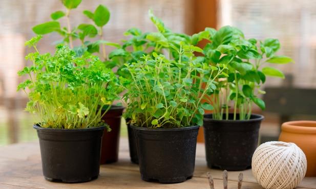 7 hierbas aromáticas fáciles de cultivar en casa