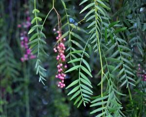 Aguaribay propiedades y usos medicinales del árbol de la Vida