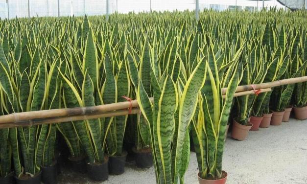 Tenga al menos una de estas plantas en su casa: son verdaderas «bombas de oxígeno»
