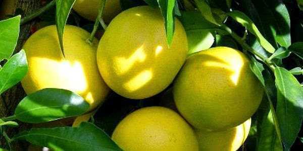 Las propiedades Curativas del Limón y sus Beneficios para la Salud