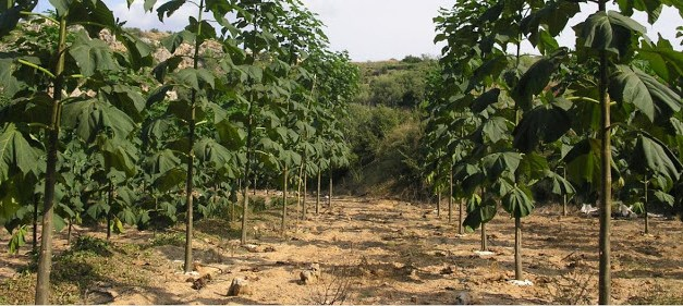 Impulsan el Cultivo del Kiri, el árbol que revierte el cambio climático