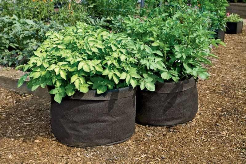 Cómo cosechar 45kg de Papas en sólo 2 metros cuadrados
