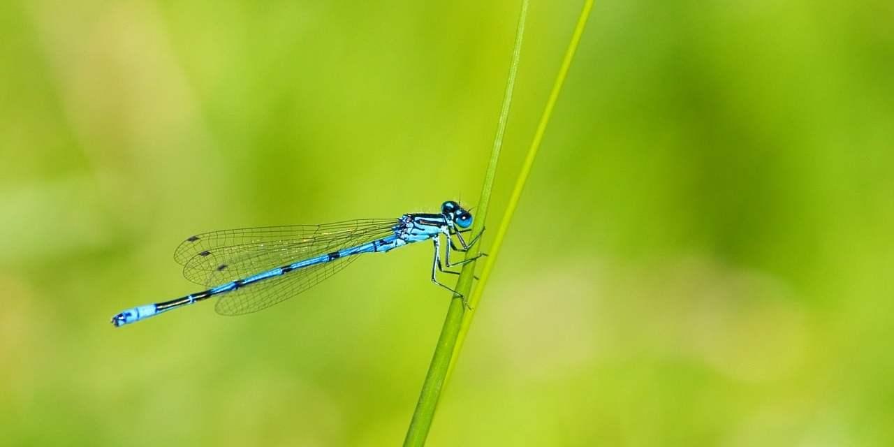 Plantas que atraen a las libélulas para el control de mosquitos