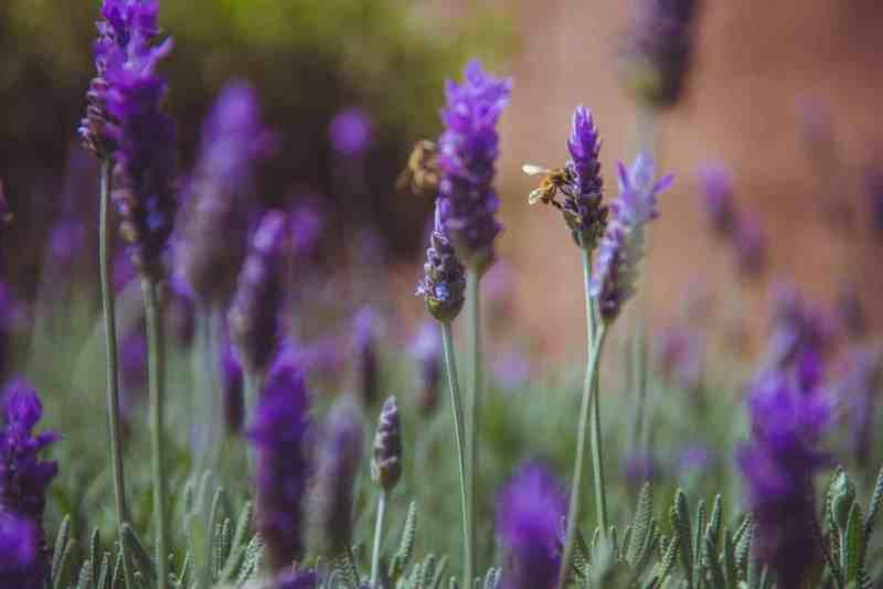 10 Plantas Aromáticas Perennes que plantas una vez y disfrutarás durante años