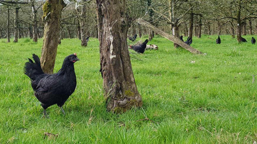En Francia están sustituyendo pesticidas por gallinas. Se comen los bichos y no contaminan.