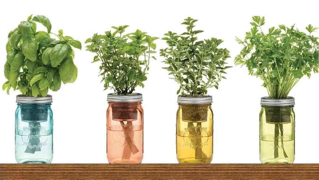 9 hierbas medicinales que puedes plantar en agua dentro de casa