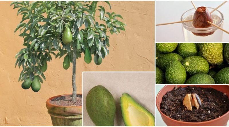 Árbol de aguacate en casa, Cómo cultivar un árbol de aguacate o palta en casa