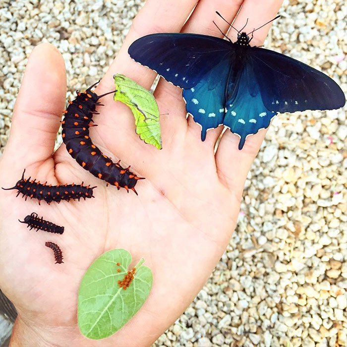 El joven que repobló una rara especie de mariposa casi extinta él solo en su patio