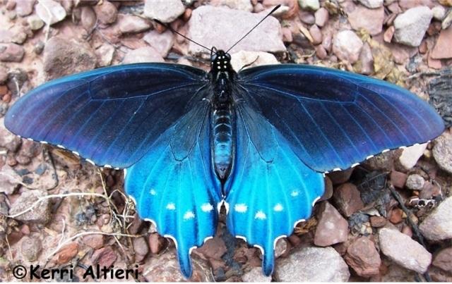 Especie de mariposas