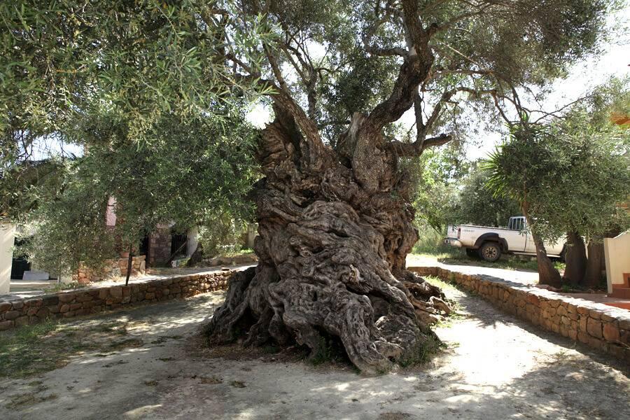Este árbol de olivo tiene más de 3,000 años y todavía produce aceitunas