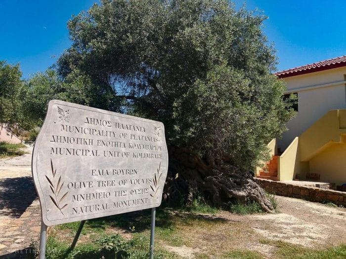 , Este árbol de olivo tiene más de 3,000 años y todavía produce aceitunas