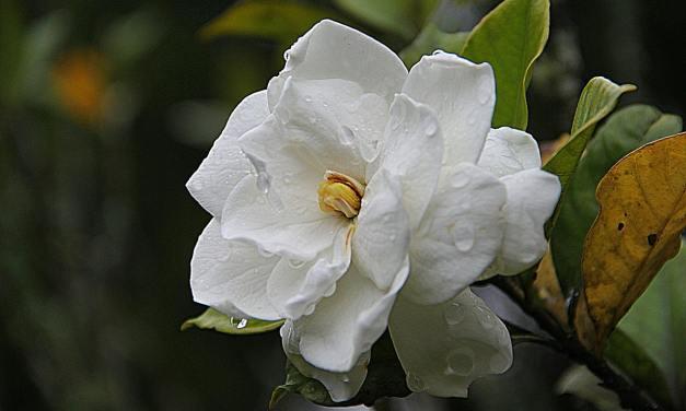 La flor que combate la inflamación, la indigestión y más