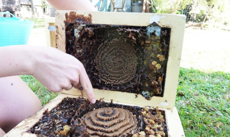 Estas abejas construyen colmenas en espiral, y nadie parece saber por qué