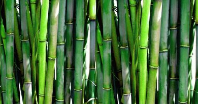 , Logran limpiar aguas contaminadas con arsénico usando bambú