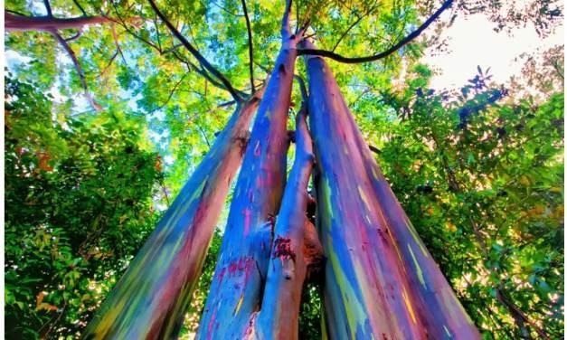 Conoce el Eucalipto Arcoíris, Un árbol inusual y atractivo.