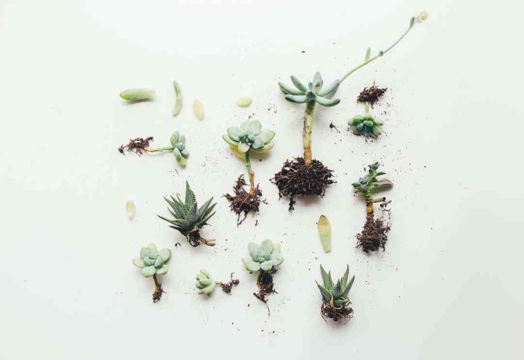 Cómo propagar suculentas en 4 simples pasos