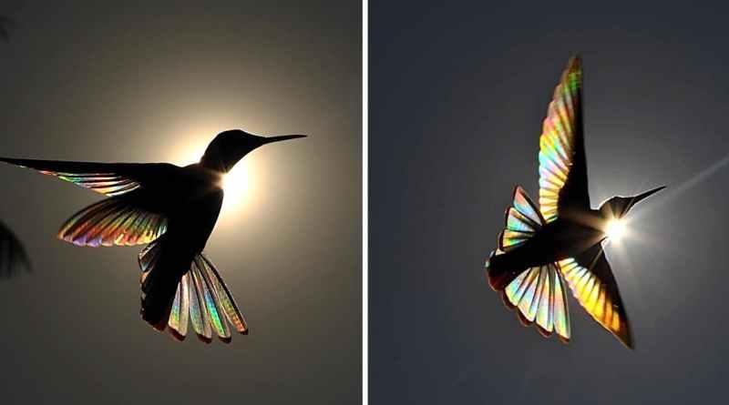Fotógrafo australiano logra capturar un «arcoíris de colibrí» y los resultados son impresionantes