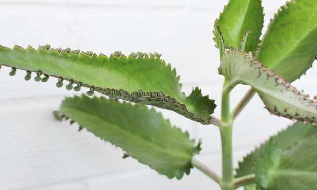Plantas KALANCHOE y sus propiedades medicinales