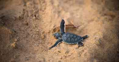 Después de 100 añosVuelven a nacer tortugas en Galápagos