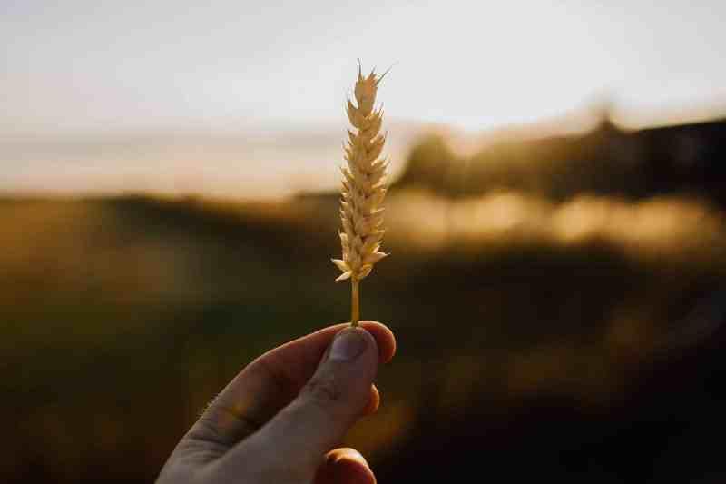 El INTA desarrolla fungicida biológico